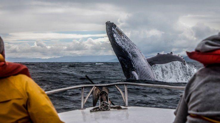 Passen Sie auf, dass Sie den Walfängern nicht ins Netz gehen!